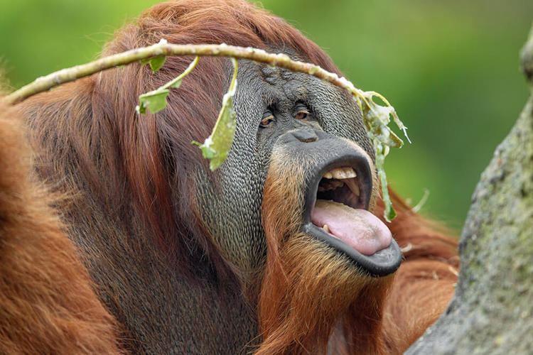 Orangutan Orangutan San Diego Zoo Animals amp Plants