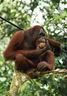 Orangutan httpsuploadwikimediaorgwikipediacommonsthu