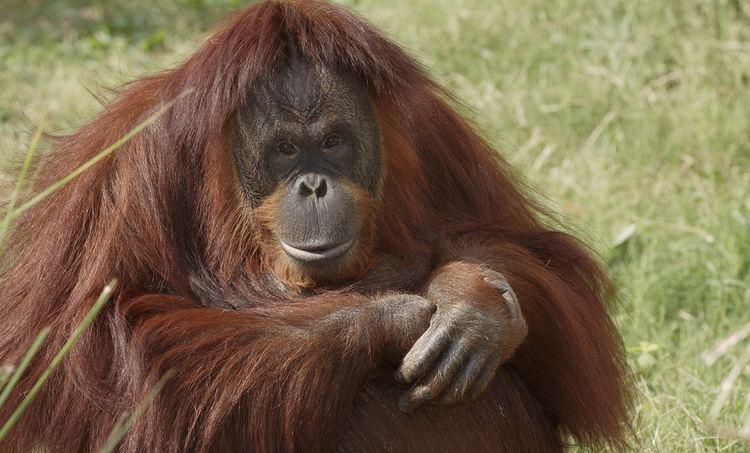 Orangutan Orangutan Smithsonian39s National Zoo