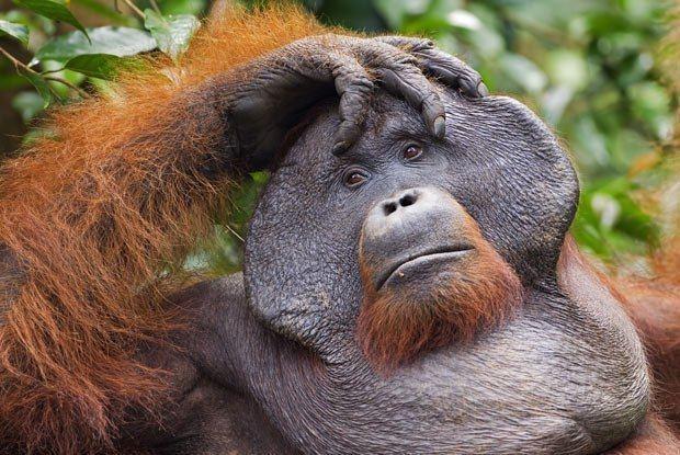 Orangutan Orangutans Great Apes Survival Partnership
