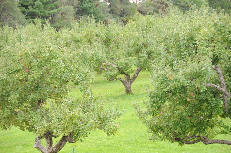 Orchard Orchard Wikipedia