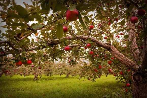 Orchard Sietsema Orchards amp Cider Mill U Pick Apples Hayrides