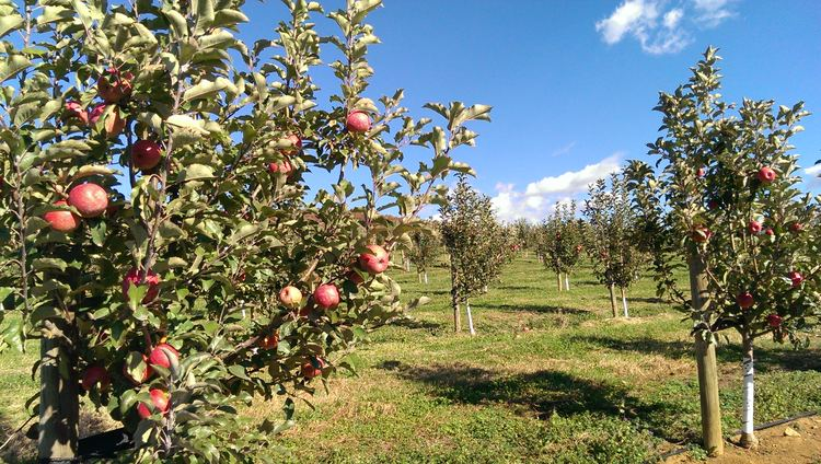 Orchard Dickie Bros Orchard 434 2775516 Apples peaches plums pumpkins