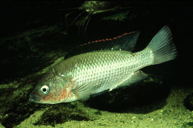 Oreochromis Fish Identification