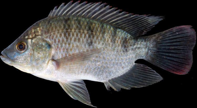 Oreochromis Oreochromis mossambicus Peters 1852