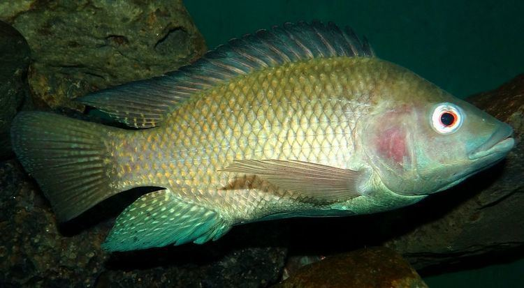 Oreochromis Nile tilapia Wikipedia