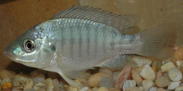 Oreochromis Aureus Blue Tilapia