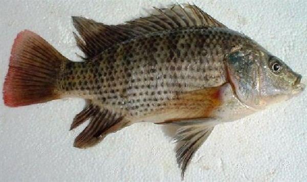 Oreochromis aureus MitoFish Oreochromis aureus
