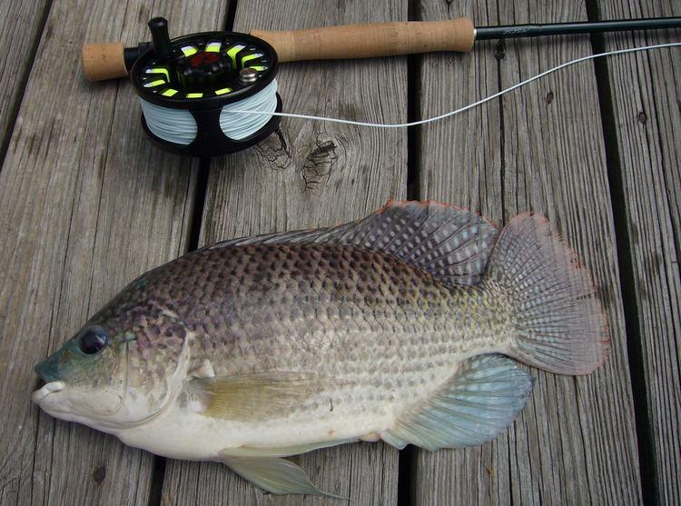 Oreochromis aureus Oreochromis aureus Wikipedia