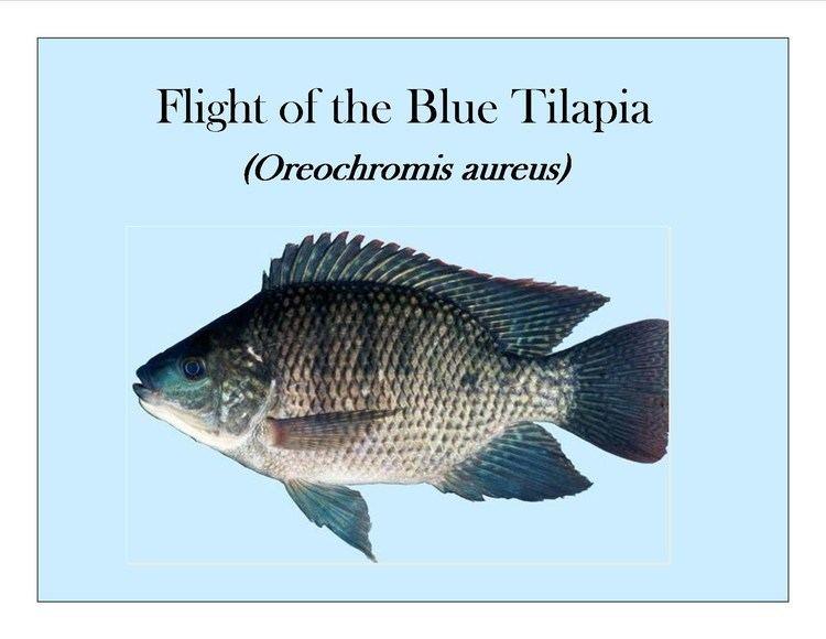 Oreochromis aureus httpsiytimgcomviyaiH70BYYUYmaxresdefaultjpg