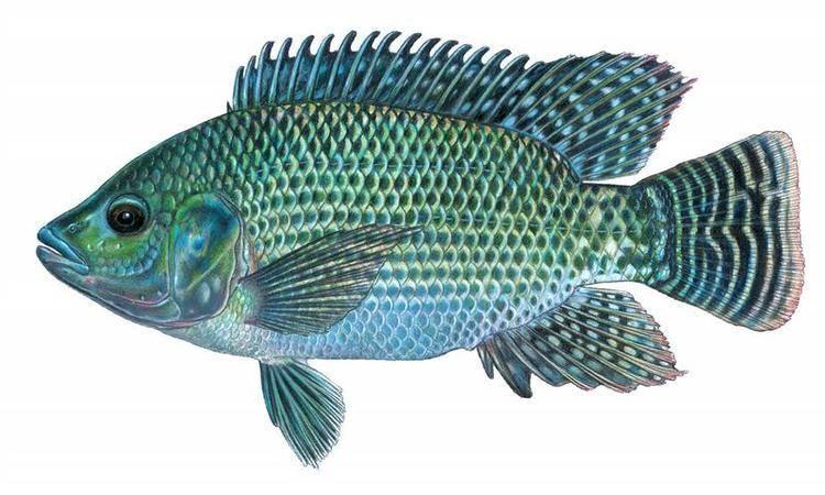 Oreochromis wwwfishesoftexasorgmediaattachmentstaxaimage
