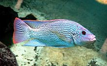 Oreochromis Oreochromis Wikipedia