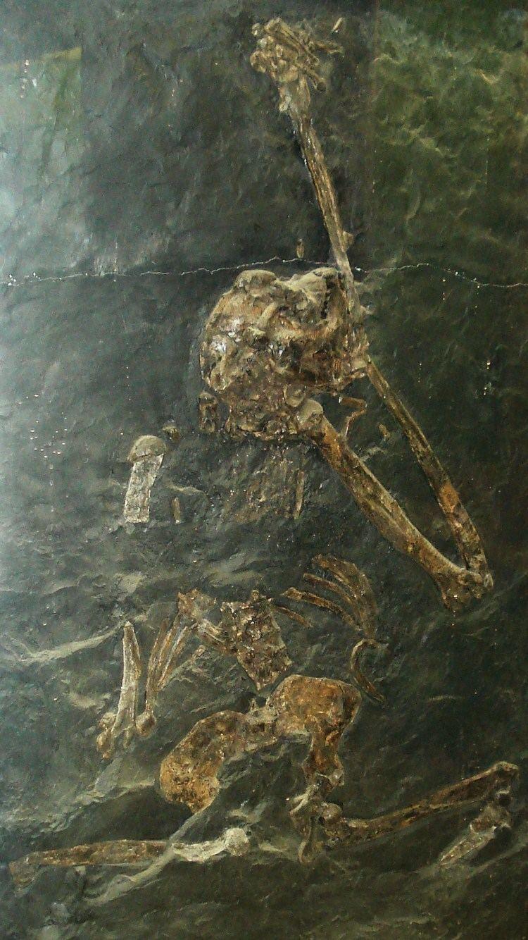 Oreopithecus httpsuploadwikimediaorgwikipediacommons00
