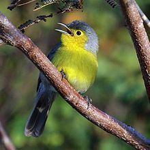 Oriente warbler httpsuploadwikimediaorgwikipediacommonsthu