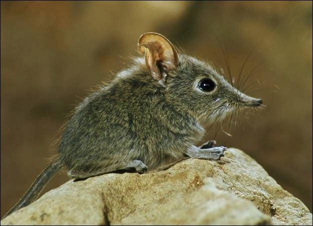 Ornate shrew - Alchetron, The Free Social Encyclopedia