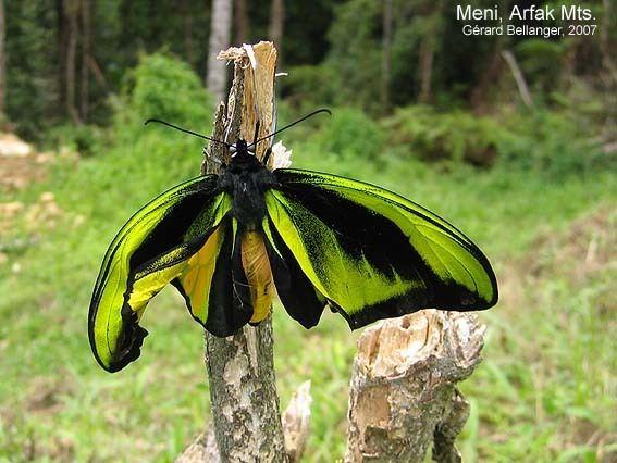 Sưu tập Bộ cánh vẩy 2 - Page 59 Ornithoptera-goliath-983000ca-85a5-4526-b268-f616ad0bd6d-resize-750