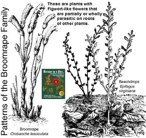 Orobanchaceae Orobanchaceae Broomrape Family Identify plants and flowers