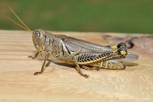 Orthoptera Entomopixel Orthoptera Grasshoppers crickets and cicadas