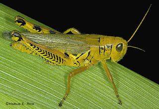 Orthoptera Orthoptera Grasshoppers Locusts Crickets Katydids Discover Life
