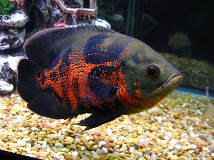 Oscar (fish) 10 ideas about Oscar Fish on Pinterest Cichlids Beautiful fish