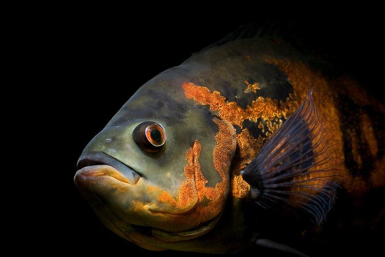 Oscar (fish) Oscar fish Wikipedia