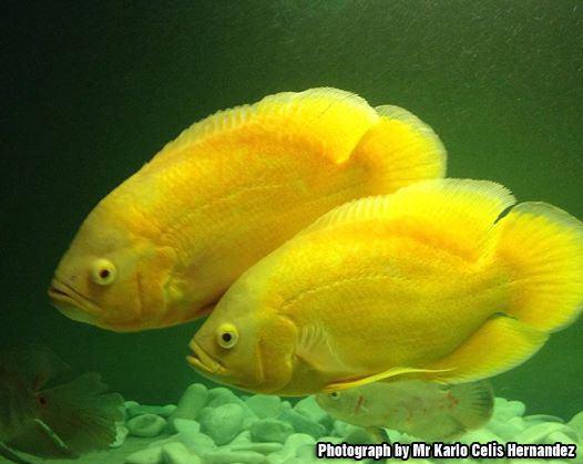 Oscar (fish) Oscar Fish Information Types of Oscar About Oscar Fish