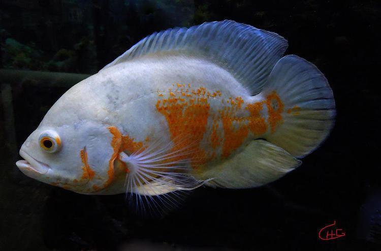 Oscar (fish) Oscar Fish Care Facts And Information