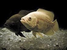 Oscar (fish) httpsuploadwikimediaorgwikipediacommonsthu