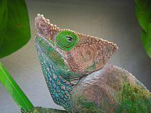 O'Shaughnessy's chameleon httpsuploadwikimediaorgwikipediacommonsthu