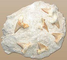 Otodontidae httpsuploadwikimediaorgwikipediacommonsthu