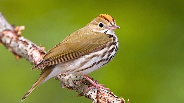Ovenbird Ovenbird