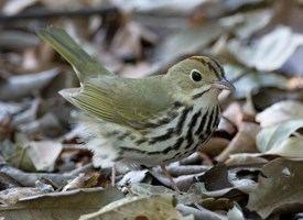 Ovenbird Ovenbird Identification All About Birds Cornell Lab of Ornithology