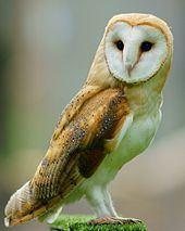 Owl Owl Wikipedia