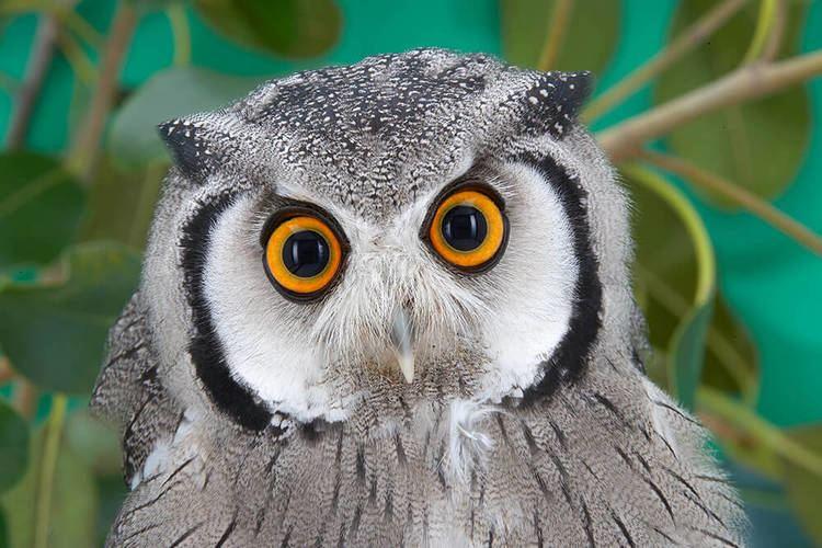 Owl - Alchetron, The Free Social Encyclopedia