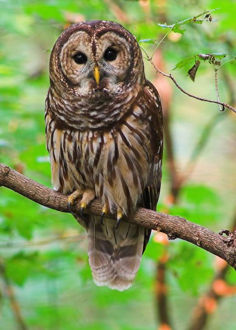 Owl Owls Living with Wildlife Washington Department of Fish amp Wildlife