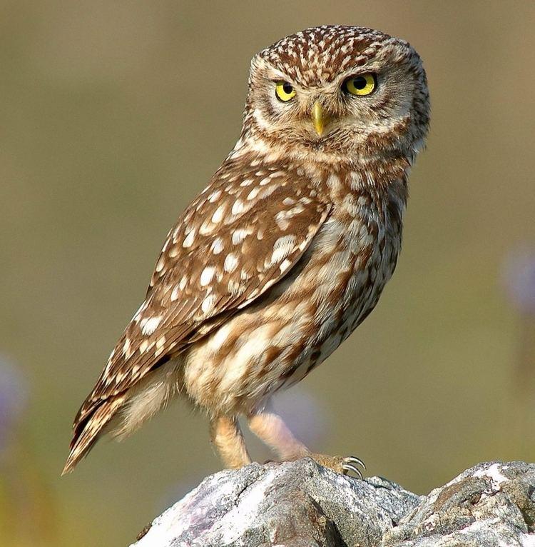 Owl httpsuploadwikimediaorgwikipediacommons33