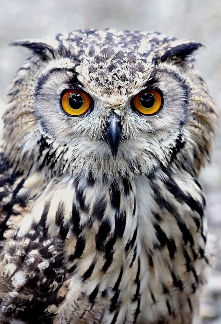 Owl 1000 ideas about Owls on Pinterest Pet pet Great grey owl and