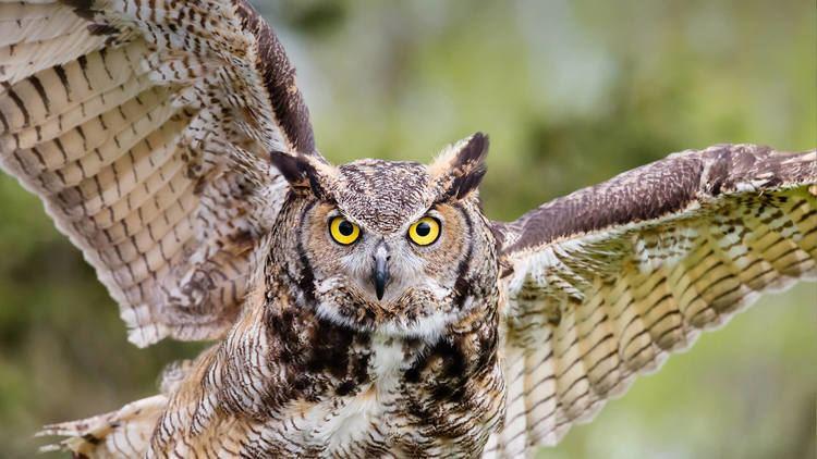 Owl Owl San Diego Zoo Animals amp Plants