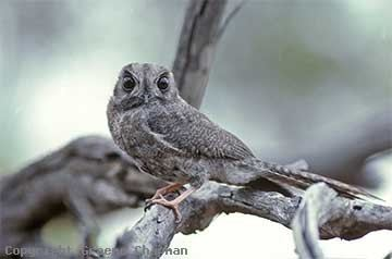 Owlet-nightjar Australian Owletnightjar Australian Birds photographs by Graeme