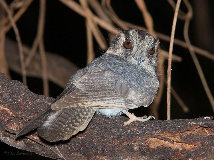 Owlet-nightjar Australian Owletnightjar BIRDS in BACKYARDS