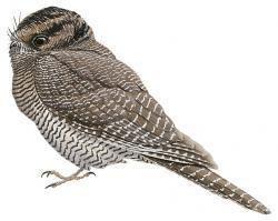Owlet-nightjar wwwhbwcomsitesdefaultfilesstyleslargeapub