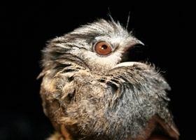 Owlet-nightjar Australian Owletnightjar BirdLife Australia