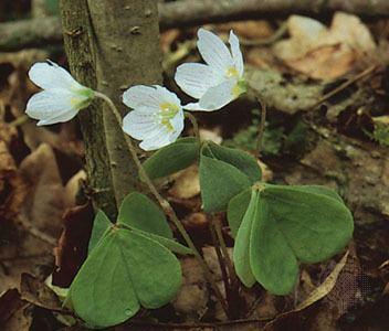 Oxalidales Oxalidales plant order Britannicacom