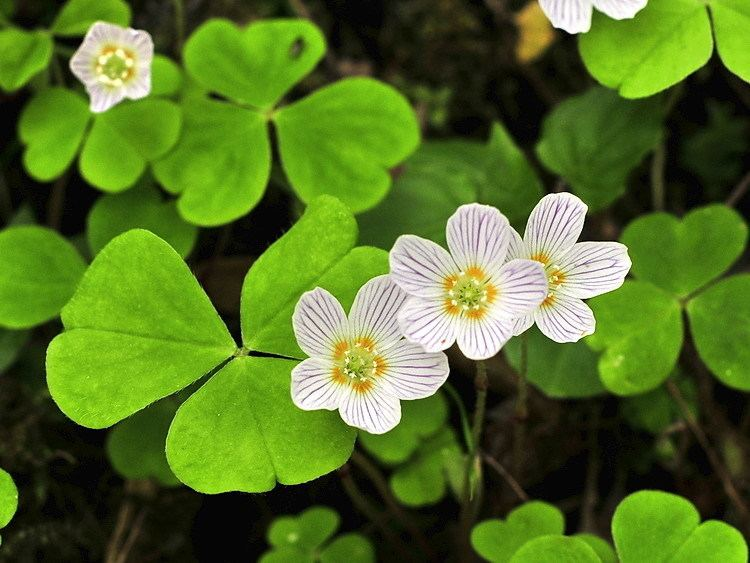 Image result for Oxalis acetosella)