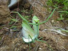 Oxyopsis httpsuploadwikimediaorgwikipediacommonsthu