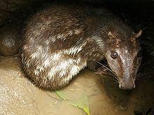 Paca httpsuploadwikimediaorgwikipediacommonsthu