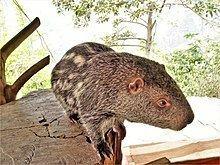 Pacarana httpsuploadwikimediaorgwikipediacommonsthu