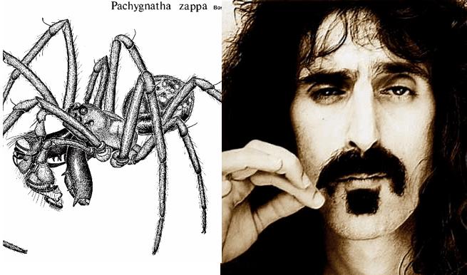 Pachygnatha zappa Pachygnathazappa Toptenznet