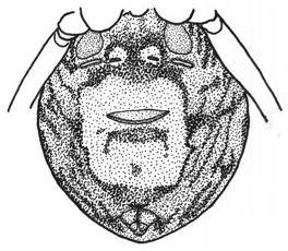 Pachygnatha zappa PachygnathaZappa Zappa Wiki Jawaka