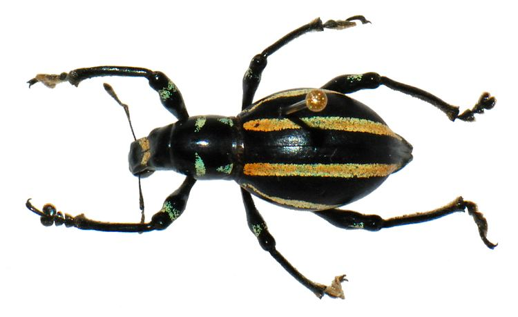 Pachyrhynchus FilePachyrhynchus inclytus Pascoe landscapejpg Wikimedia Commons